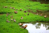 草地上的鸭群