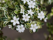 盛开的白马骨白色花朵