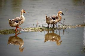 水田里的两只鸭子