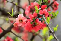 鲜艳的木瓜花