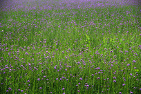 紫色马鞭草