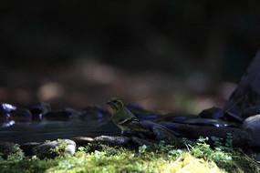 孤独的藏黄雀