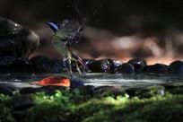 活波的火尾希鹛