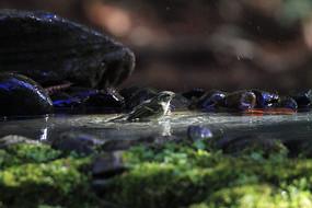 戏水的柳莺