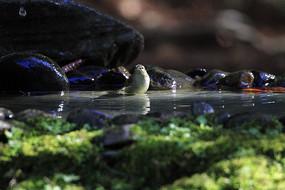 沐浴的柳莺