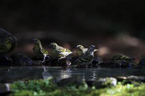 一群藏黄雀