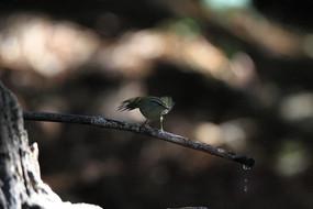 欲飞的柳莺