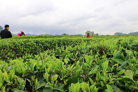 贵州茶园拍摄