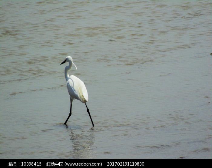 白色丹顶鹤 图片