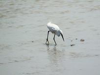 海边的白鹤