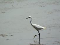海边觅食的海鸟