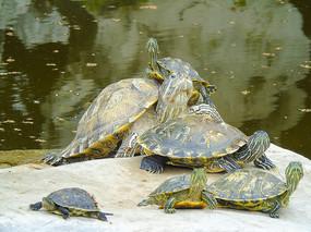 海洋动物乌龟海龟特写素材