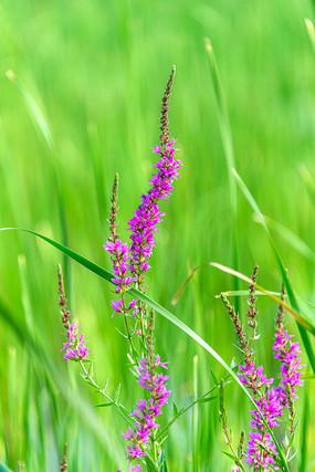 红紫色小花