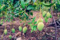 芒果树上芒果