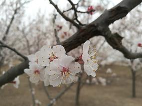 四月盛开的桃花