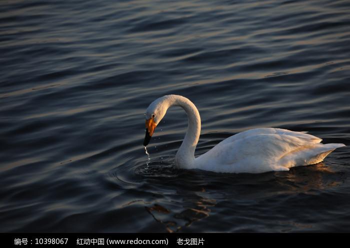 戏水的天鹅图片