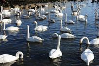 湖面优雅的天鹅