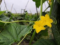黄色的青瓜花
