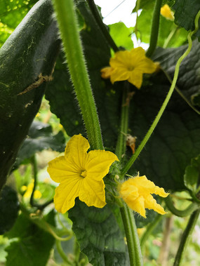 黄色的青瓜花拍摄素材