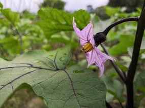 茄子的紫色花朵拍摄