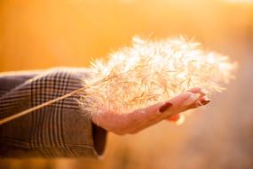 手捧暖暖的一束芦苇花