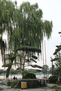 公园里的大树
