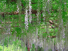 紫藤花公园