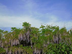 紫藤花和天空