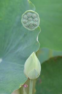 荷花花苞莲蓬
