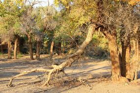 胡杨树林树根