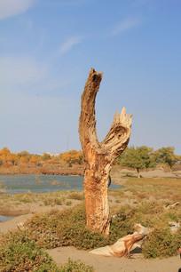 胡杨树树干