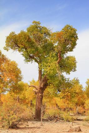 胡杨树树林