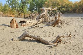 沙漠胡杨树根