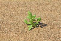 沙漠中的生命绿植嫩芽