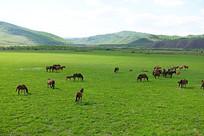 呼伦贝尔草原马群