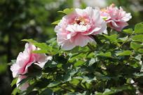 三朵粉色的牡丹花