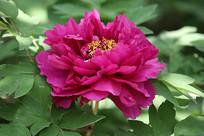 紫色牡丹花特写