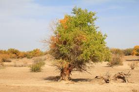 戈壁绿色胡杨树