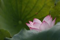 正面荷叶映衬的红荷花和蜜蜂