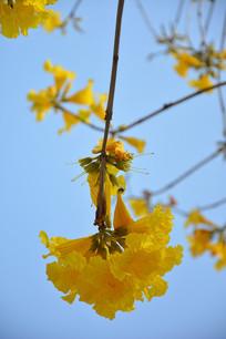 黄色紫金花
