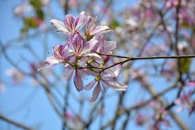 浅紫色紫金花