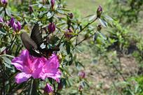 紫粉色紫金花