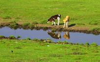 草原上的牛