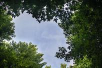 枫叶林仰望天空