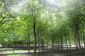光线枫叶林