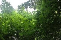 绿叶枫树林