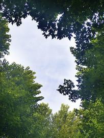 天空枫叶林