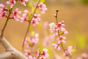 粉色桃花骨朵细节