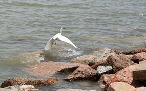 深圳湾海边白鹭鸟