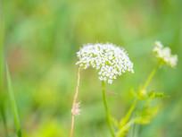 夏季户外的白色蛇床花